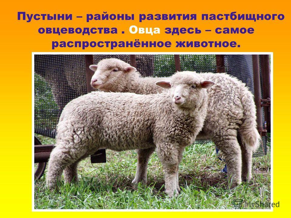 Пустыни – районы развития пастбищного овцеводства. Овца здесь – самое распространённое животное.