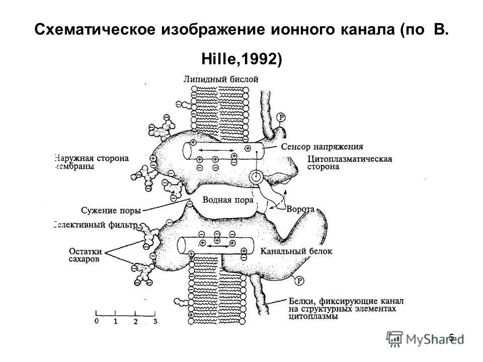 5 Схематическое изображение ионного канала (по B. Hille,1992)