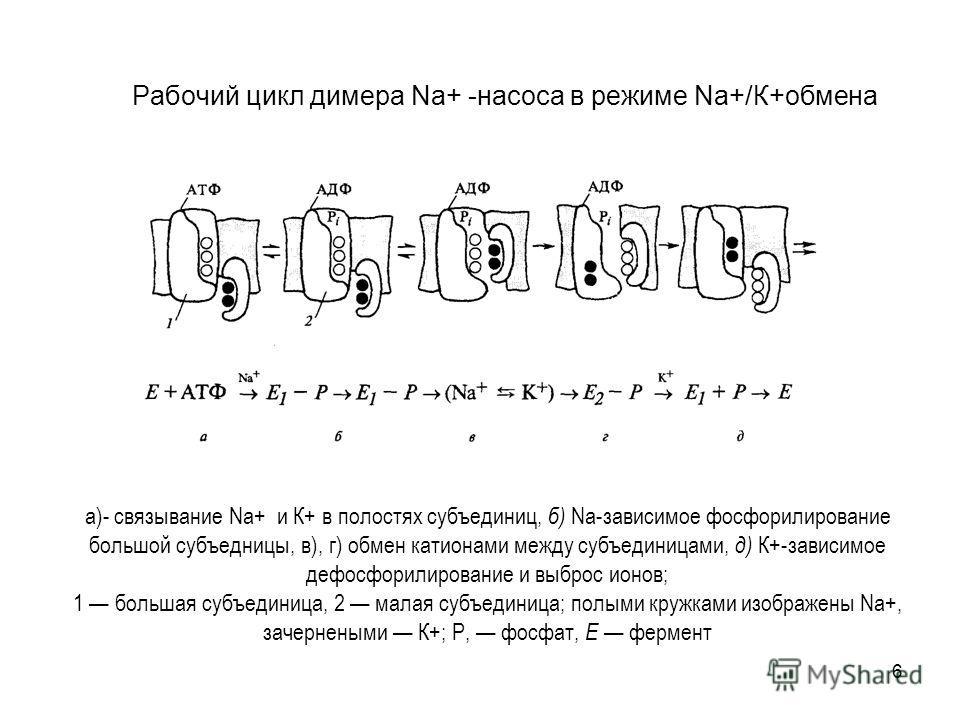 6 Рабочий цикл димера Na+ -насоса в режиме Na+/К+обмена а)- связывание Na+ и К+ в полостях субъединиц, б) Na-зависимое фосфорилирование большой субъедницы, в), г) обмен катионами между субъединицами, д) К+-зависимое дефосфорилирование и выброс ионов;