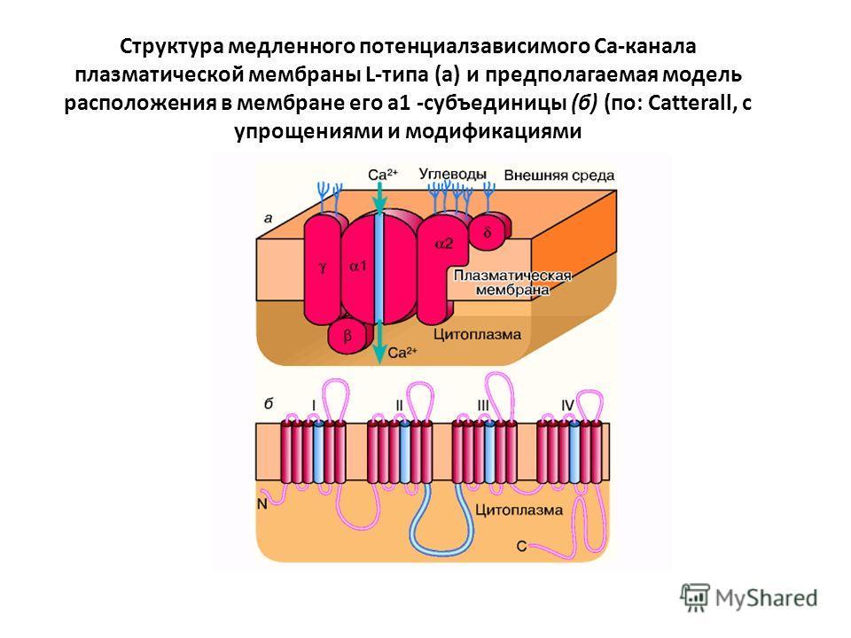 Структура медленного потенциалзависимого Са-канала плазматической мембраны L-типа (а) и предполагаемая модель расположения в мембране его а1 -субъединицы (б) (по: Catterall, с упрощениями и модификациями