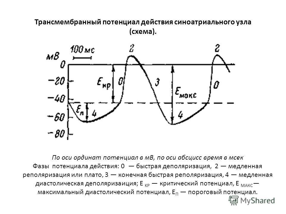 Трансмембранный потенциал действия синоатриального узла (схема). По оси ординат потенциал в мВ, по оси абсцисс время в мсек Фазы потенциала действия: 0 быстрая деполяризация, 2 медленная реполяризация или плато, 3 конечная быстрая реполяризация, 4 ме