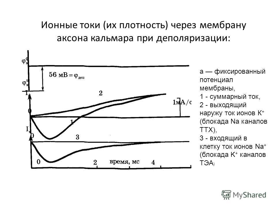 Ионные токи (их плотность) через мембрану аксона кальмара при деполяризации: а фиксированный потенциал мембраны, 1 - суммарный ток, 2 - выходящий наружу ток ионов К + (блокада Na каналов ТТХ), 3 - входящий в клетку ток ионов Na + (блокада K + каналов