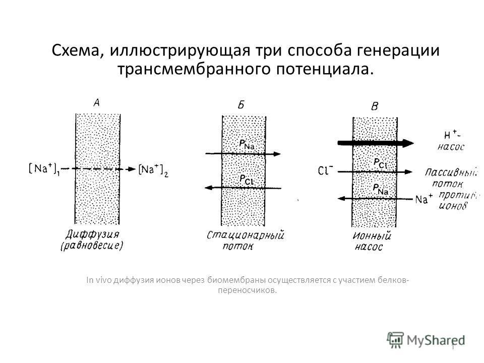 Схема, иллюстрирующая три способа генерации трансмембранного потенциала. In vivo диффузия ионов через биомембраны осуществляется с участием белков- переносчиков. 1