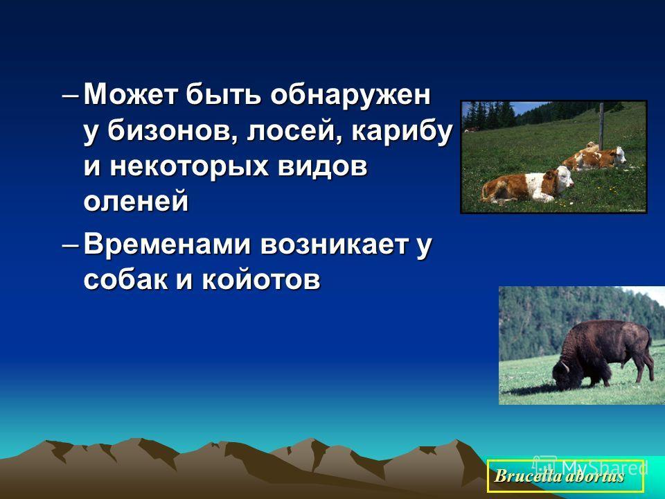 –Может быть обнаружен у бизонов, лосей, карибу и некоторых видов оленей –Временами возникает у собак и койотов Brucella abortus