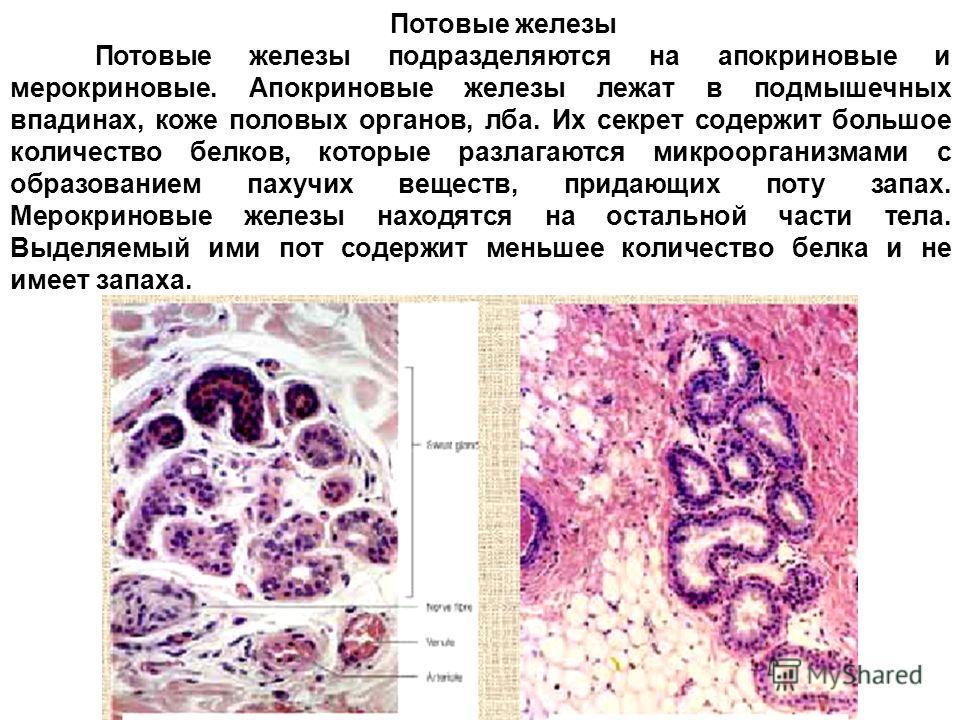 Потовые железы Потовые железы подразделяются на апокриновые и мерокриновые. Апокриновые железы лежат в подмышечных впадинах, коже половых органов, лба. Их секрет содержит большое количество белков, которые разлагаются микроорганизмами с образованием