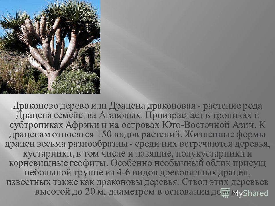 Драконово дерево или Драцена драконовая - растение рода Драцена семейства Агавовых. Произрастает в тропиках и субтропиках Африки и на островах Юго - Восточной Азии. К драценам относятся 150 видов растений. Жизненные формы драцен весьма разнообразны -