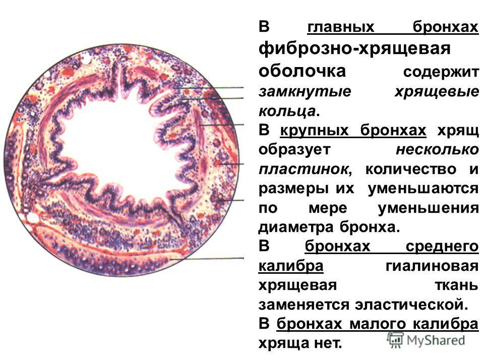 В главных бронхах фиброзно-хрящевая оболочка содержит замкнутые хрящевые кольца. В крупных бронхах хрящ образует несколько пластинок, количество и размеры их уменьшаются по мере уменьшения диаметра бронха. В бронхах среднего калибра гиалиновая хрящев