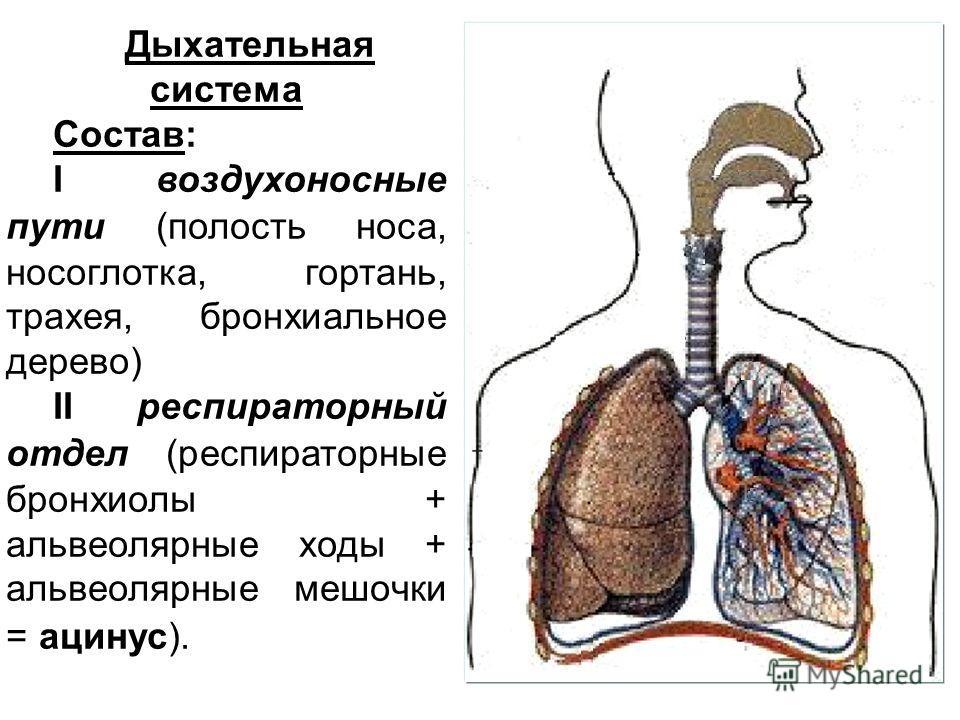 Дыхательная система Состав: I воздухоносные пути (полость носа, носоглотка, гортань, трахея, бронхиальное дерево) II респираторный отдел (респираторные бронхиолы + альвеолярные ходы + альвеолярные мешочки = ацинус).