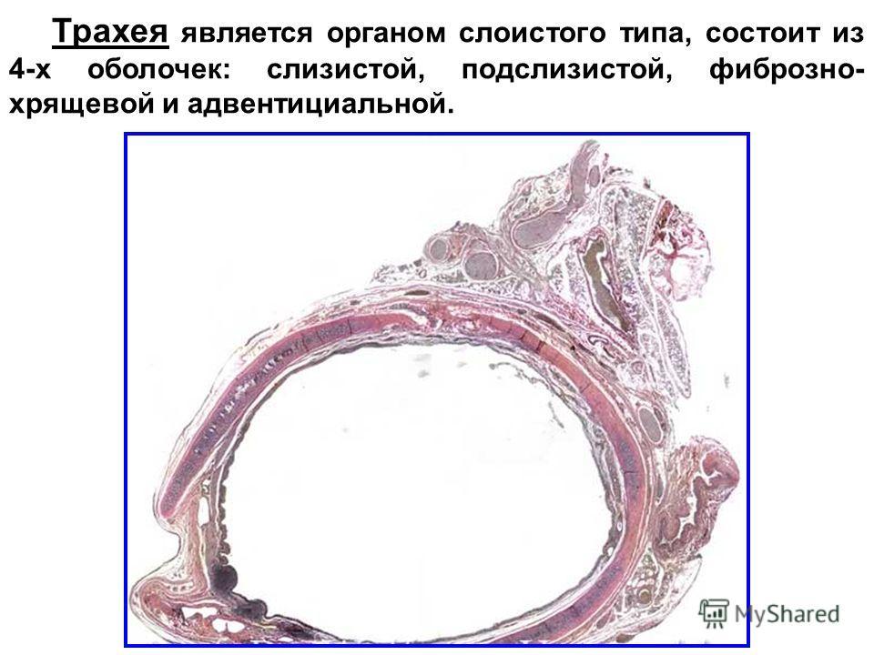 Трахея является органом слоистого типа, состоит из 4-х оболочек: слизистой, подслизистой, фиброзно- хрящевой и адвентициальной.
