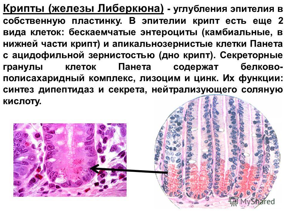 Крипты (железы Либеркюна) - углубления эпителия в собственную пластинку. В эпителии крипт есть еще 2 вида клеток: бескаемчатые энтероциты (камбиальные, в нижней части крипт) и апикальнозернистые клетки Панета с ацидофильной зернистостью (дно крипт).