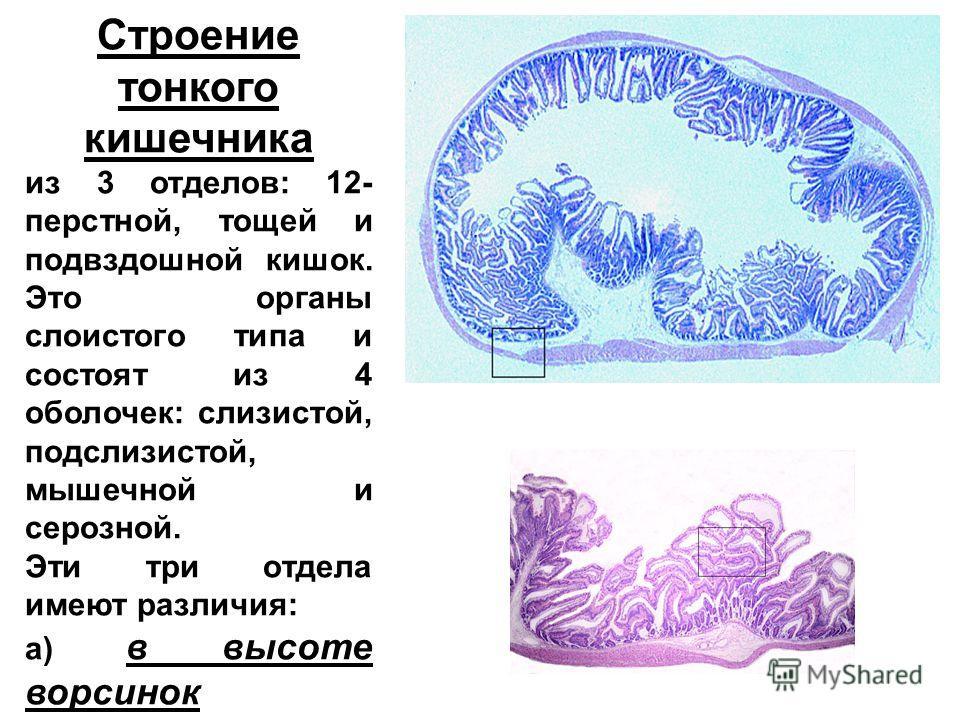 Строение тонкого кишечника из 3 отделов: 12- перстной, тощей и подвздошной кишок. Это органы слоистого типа и состоят из 4 оболочек: слизистой, подслизистой, мышечной и серозной. Эти три отдела имеют различия: а) в высоте ворсинок