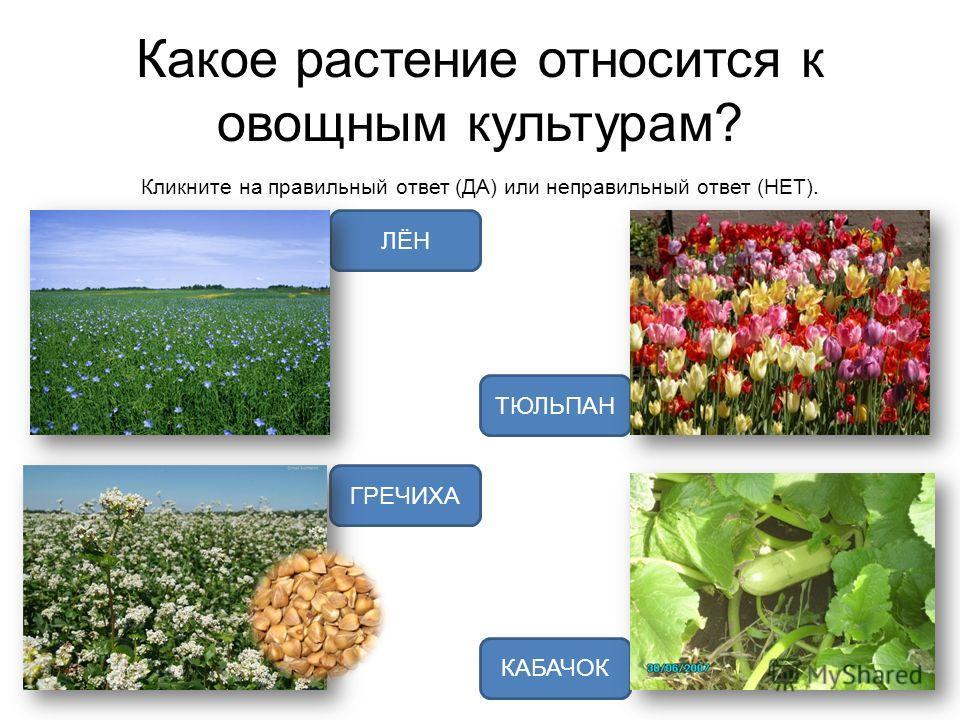 Какое растение относится к овощным культурам? Кликните на правильный ответ (ДА) или неправильный ответ (НЕТ). КАБАЧОК ГРЕЧИХА ЛЁН ТЮЛЬПАН