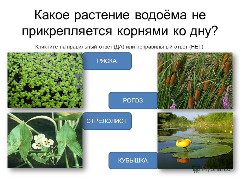 Какое растение водоёма не прикрепляется корнями ко дну? Кликните на правильный ответ (ДА) или неправильный ответ (НЕТ). РЯСКА СТРЕЛОЛИСТ РОГОЗ КУБЫШКА