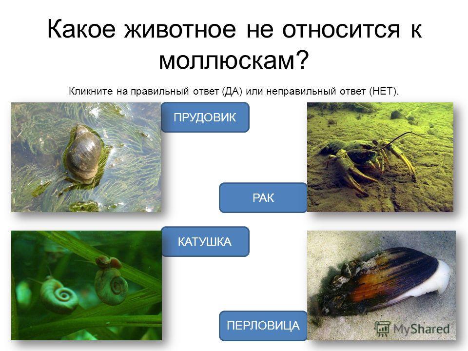 Какое животное не относится к моллюскам? Кликните на правильный ответ (ДА) или неправильный ответ (НЕТ). РАК ПРУДОВИК ПЕРЛОВИЦА КАТУШКА