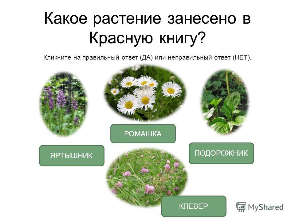 Какое растение занесено в Красную книгу? Кликните на правильный ответ (ДА) или неправильный ответ (НЕТ). ЯРТЫШНИК РОМАШКА ПОДОРОЖНИК КЛЕВЕР