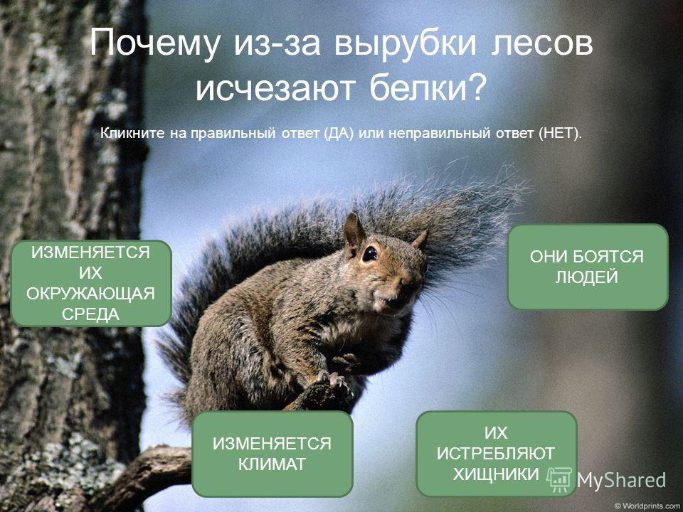 Почему из-за вырубки лесов исчезают белки? Кликните на правильный ответ (ДА) или неправильный ответ (НЕТ). ИЗМЕНЯЕТСЯ ИХ ОКРУЖАЮЩАЯ СРЕДА ОНИ БОЯТСЯ ЛЮДЕЙ ИХ ИСТРЕБЛЯЮТ ХИЩНИКИ ИЗМЕНЯЕТСЯ КЛИМАТ