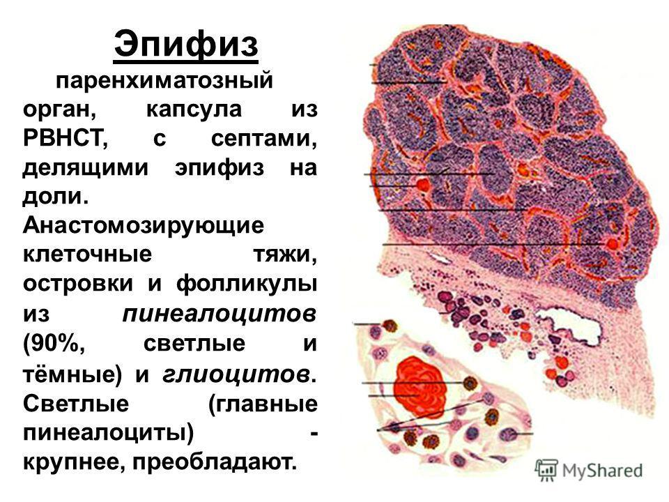 Эпифиз паренхиматозный орган, капсула из РВНСТ, с септами, делящими эпифиз на доли. Анастомозирующие клеточные тяжи, островки и фолликулы из пинеалоцитов (90%, светлые и тёмные) и глиоцитов. Светлые (главные пинеалоциты) - крупнее, преобладают.