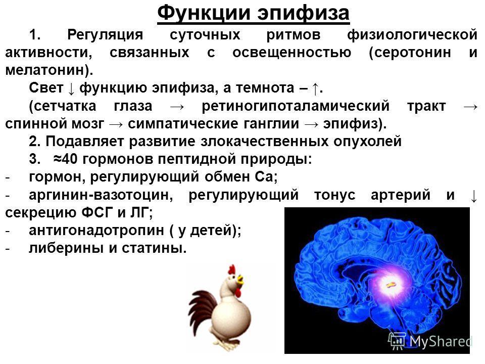 Функции эпифиза 1. Регуляция суточных ритмов физиологической активности, связанных с освещенностью (серотонин и мелатонин). Свет функцию эпифиза, а темнота –. (сетчатка глаза ретиногипоталамический тракт спинной мозг симпатические ганглии эпифиз). 2.
