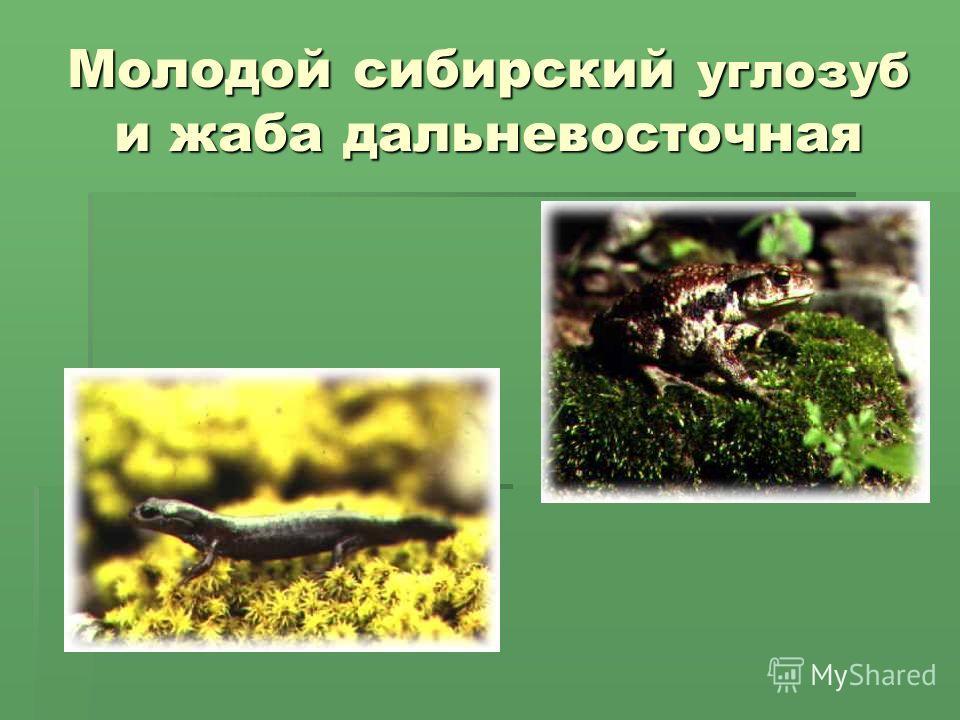Молодой сибирский углозуб и жаба дальневосточная