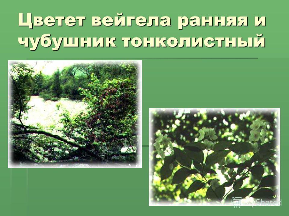 Цветет вейгела ранняя и чубушник тонколистный