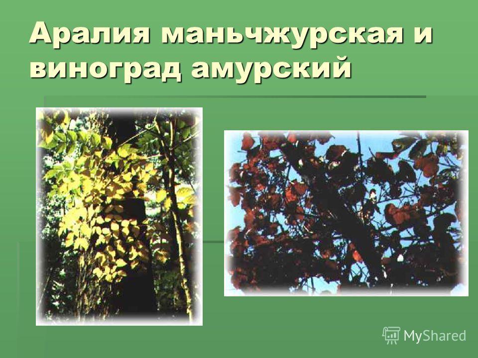 Аралия маньчжурская и виноград амурский