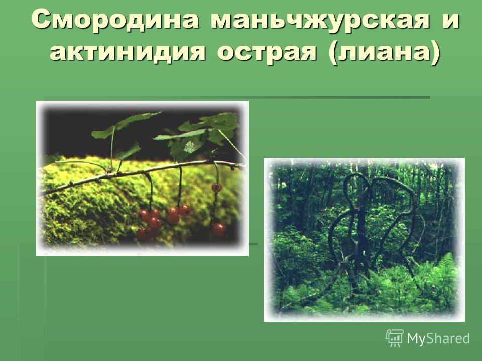 Смородина маньчжурская и актинидия острая (лиана) Смородина маньчжурская и актинидия острая (лиана)