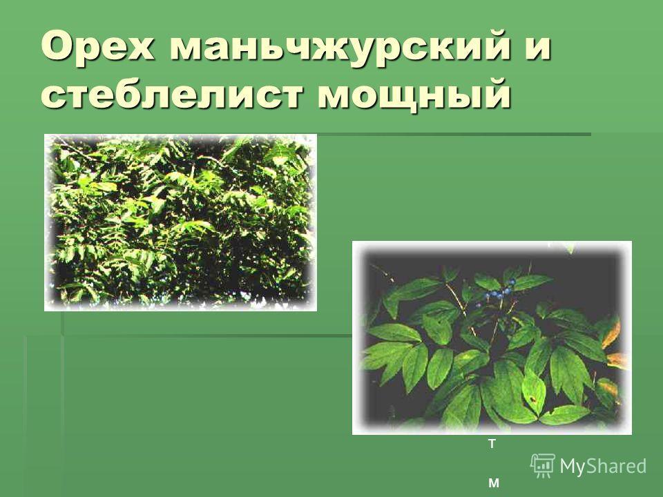Орех маньчжурский и стеблелист мощный Стблелист мощныйСтблелист мощный е