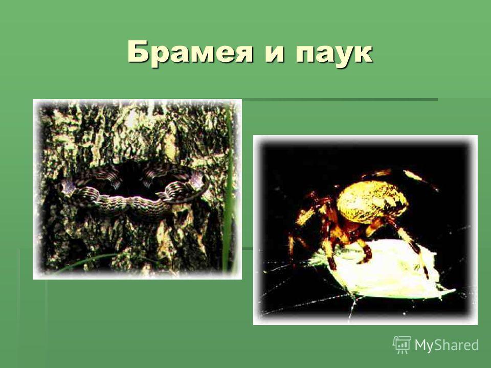 Брамея и паук