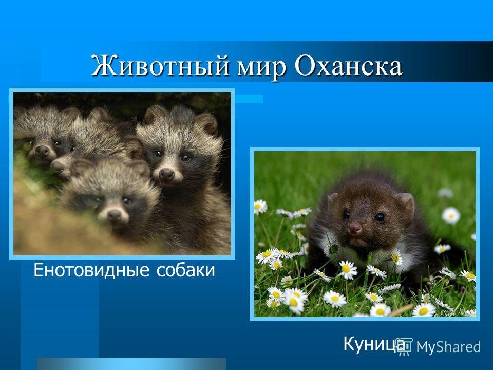 Животный мир Оханска Енотовидные собаки Куница