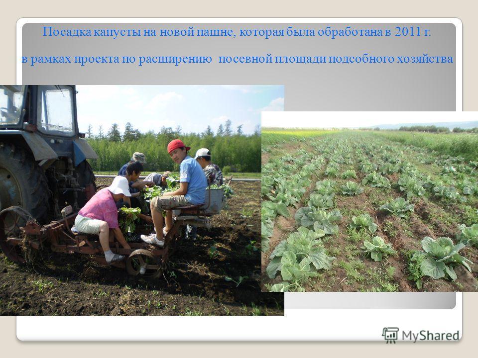 Посадка капусты на новой пашне, которая была обработана в 2011 г. в рамках проекта по расширению посевной площади подсобного хозяйства