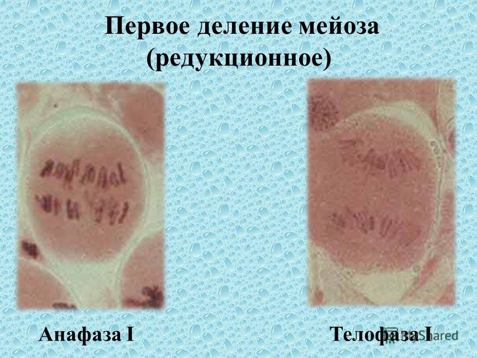 Первое деление мейоза (редукционное) Поздняя профаза I Метафаза I