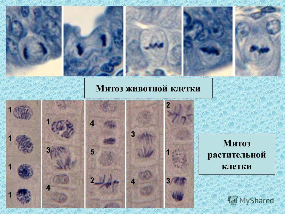 Фазы митоза Профаза МетафазаАнафаза Телофаза 1 Телофаза 2 цитокинез