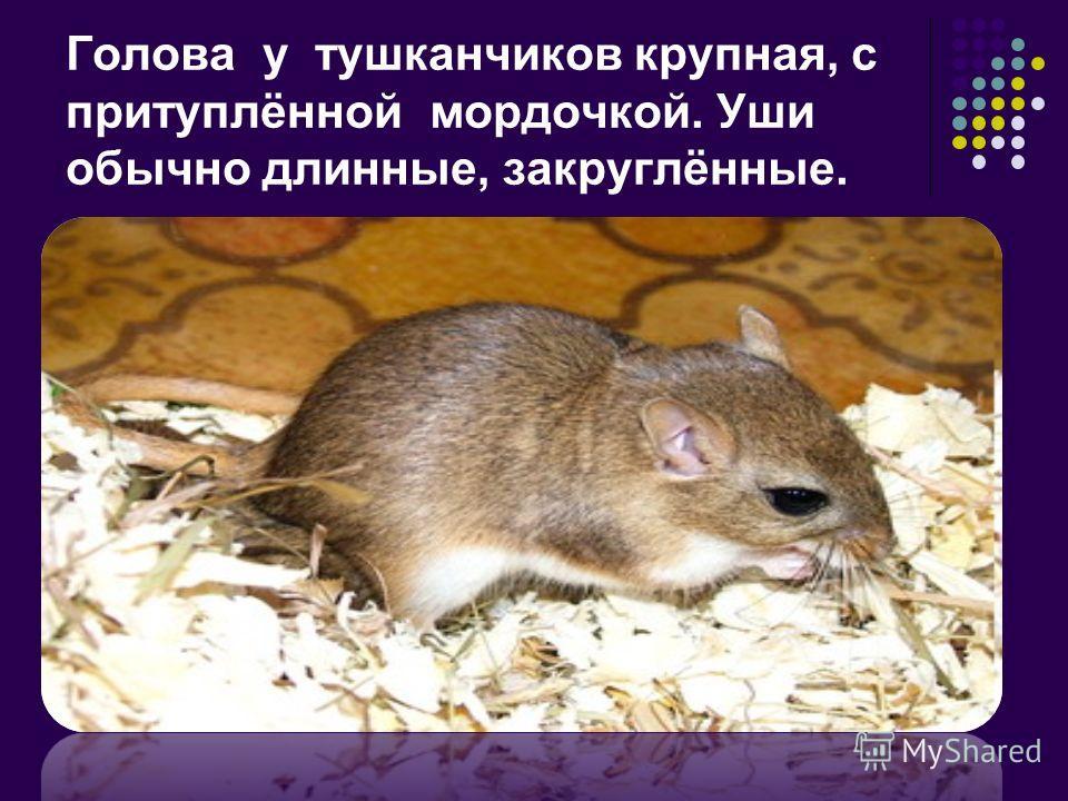 Голова у тушканчиков крупная, с притуплённой мордочкой. Уши обычно длинные, закруглённые.