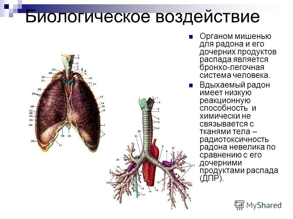 Биологическое воздействие Органом мишенью для радона и его дочерних продуктов распада является бронхо-легочная система человека. Вдыхаемый радон имеет низкую реакционную способность и химически не связывается с тканями тела – радиотоксичность радона