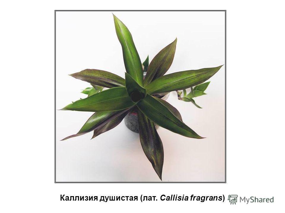 Каллизия душистая (лат. Callisia fragrans)