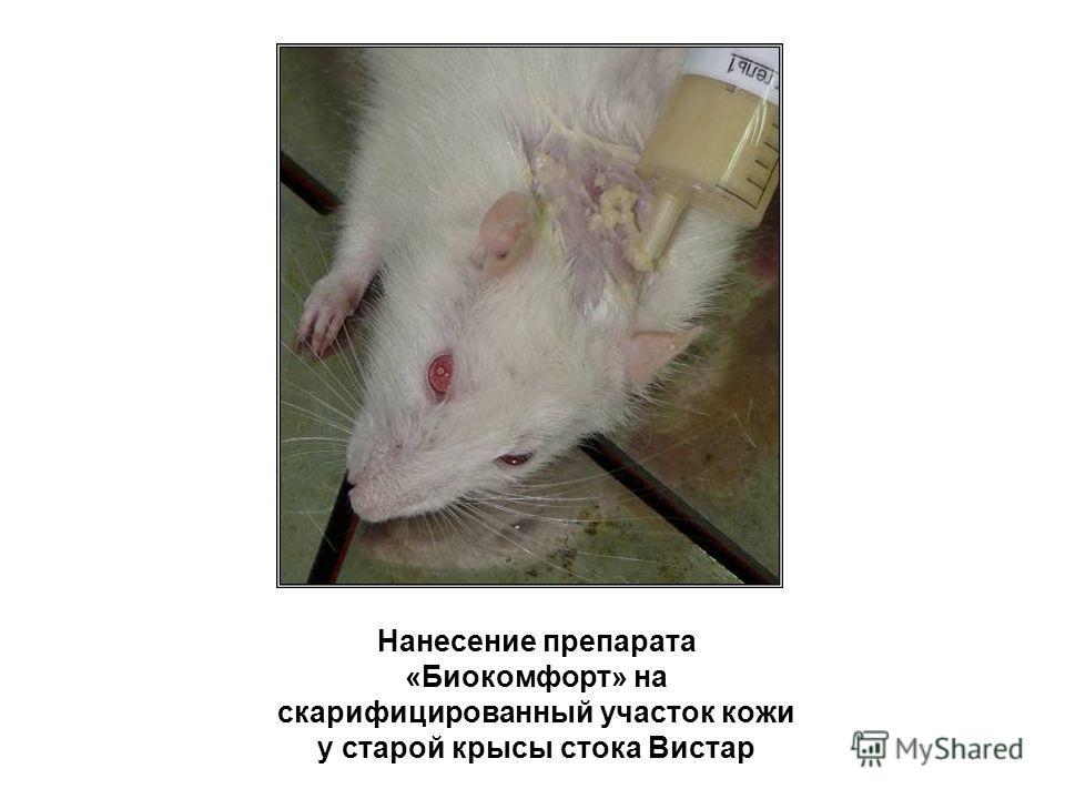 Нанесение препарата «Биокомфорт» на скарифицированный участок кожи у старой крысы стока Вистар