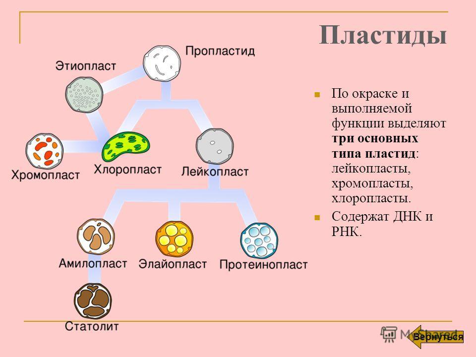 Пластиды По окраске и выполняемой функции выделяют три основных типа пластид: лейкопласты, хромопласты, хлоропласты. Содержат ДНК и РНК. Вернуться