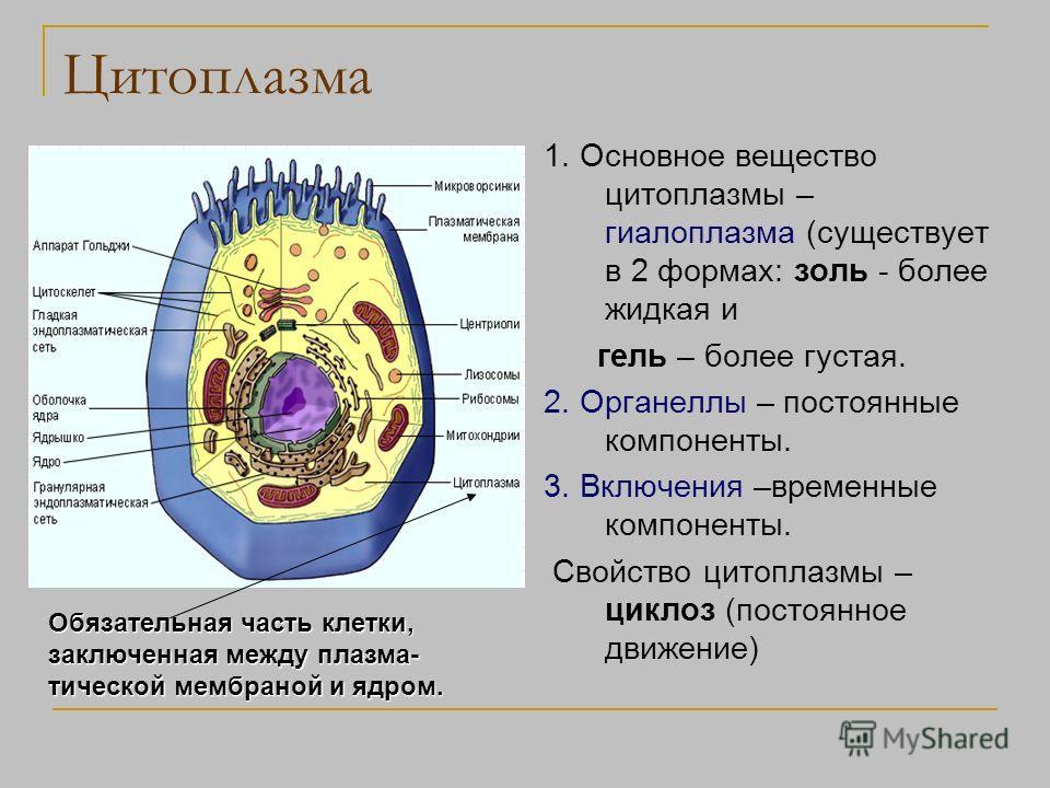 Цитоплазма 1. Основное вещество цитоплазмы – гиалоплазма (существует в 2 формах: золь - более жидкая и гель – более густая. 2. Органеллы – постоянные компоненты. 3. Включения –временные компоненты. Свойство цитоплазмы – циклоз (постоянное движение) О