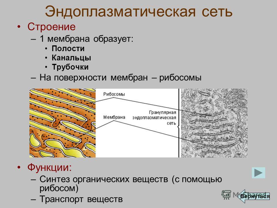 Эндоплазматическая сеть Строение –1 мембрана образует: Полости Канальцы Трубочки –На поверхности мембран – рибосомы Функции: –Синтез органических веществ (с помощью рибосом) –Транспорт веществ Вернуться