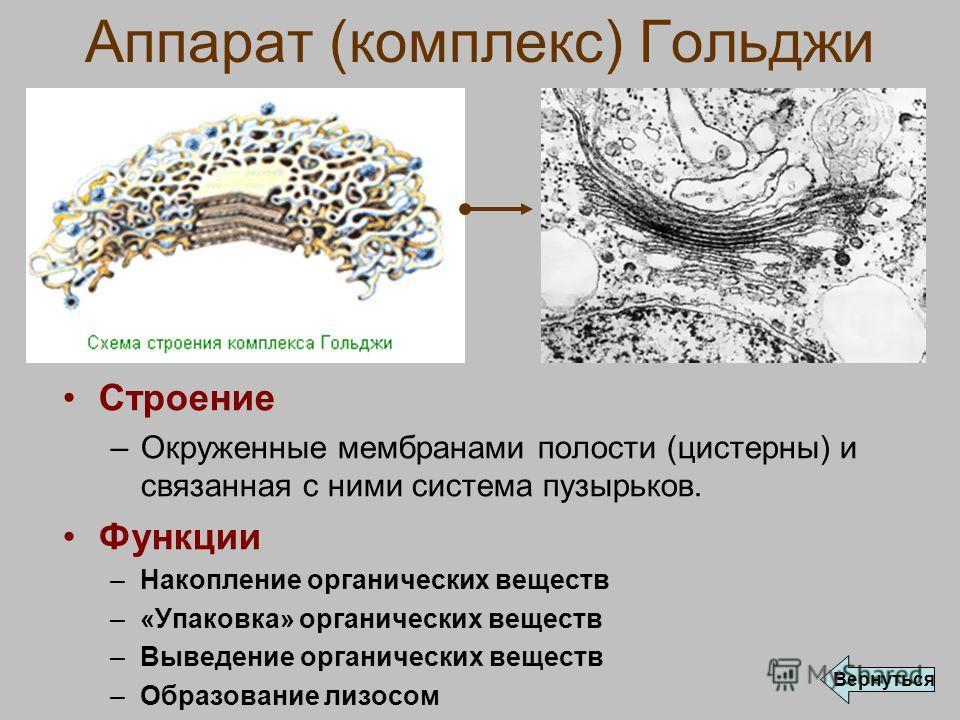 Аппарат (комплекс) Гольджи Строение –Окруженные мембранами полости (цистерны) и связанная с ними система пузырьков. Функции –Накопление органических веществ –«Упаковка» органических веществ –Выведение органических веществ –Образование лизосом Вернуть