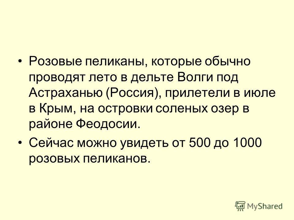 Розовые пеликаны, которые обычно проводят лето в дельте Волги под Астраханью (Россия), прилетели в июле в Крым, на островки соленых озер в районе Феодосии. Сейчас можно увидеть от 500 до 1000 розовых пеликанов.