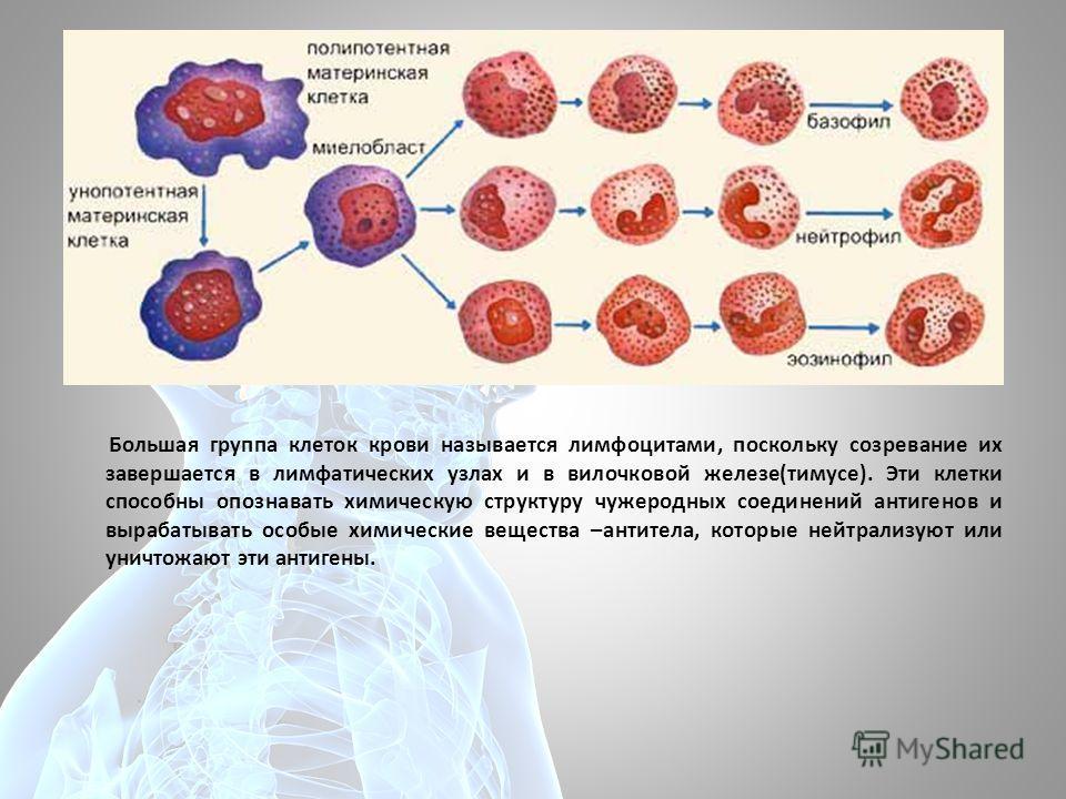 Большая группа клеток крови называется лимфоцитами, поскольку созревание их завершается в лимфатических узлах и в вилочковой железе(тимусе). Эти клетки способны опознавать химическую структуру чужеродных соединений антигенов и вырабатывать особые хим