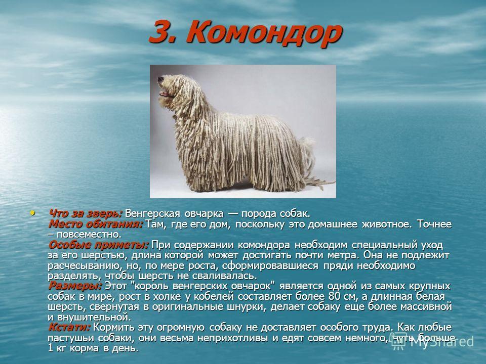 3. Комондор Что за зверь: Венгерская овчарка порода собак. Место обитания: Там, где его дом, поскольку это домашнее животное. Точнее – повсеместно. Особые приметы: При содержании комондора необходим специальный уход за его шерстью, длина которой може