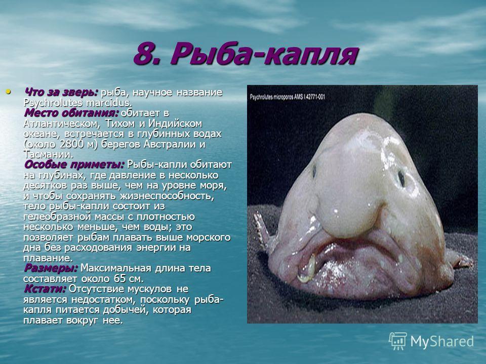 8. Рыба-капля Что за зверь: рыба, научное название Psychrolutes marcidus. Место обитания: обитает в Атлантическом, Тихом и Индийском океане, встречается в глубинных водах (около 2800 м) берегов Австралии и Тасмании. Особые приметы: Рыбы-капли обитают