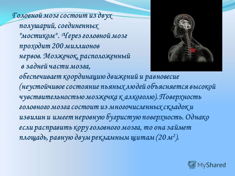 Головной мозг состоит из двух полушарий, соединенных