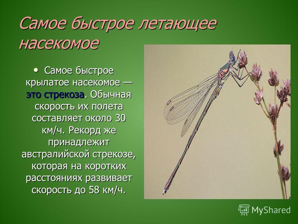 Самое быстрое летающее насекомое Самое быстрое крылатое насекомое это стрекоза. Обычная скорость их полета составляет около 30 км/ч. Рекорд же принадлежит австралийской стрекозе, которая на коротких расстояниях развивает скорость до 58 км/ч.