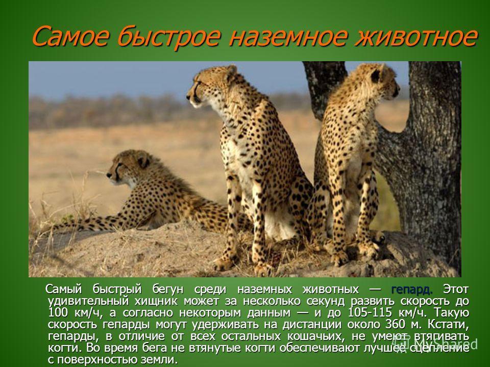 Самое быстрое наземное животное Самый быстрый бегун среди наземных животных гепард. Этот удивительный хищник может за несколько секунд развить скорость до 100 км/ч, а согласно некоторым данным и до 105-115 км/ч. Такую скорость гепарды могут удерживат