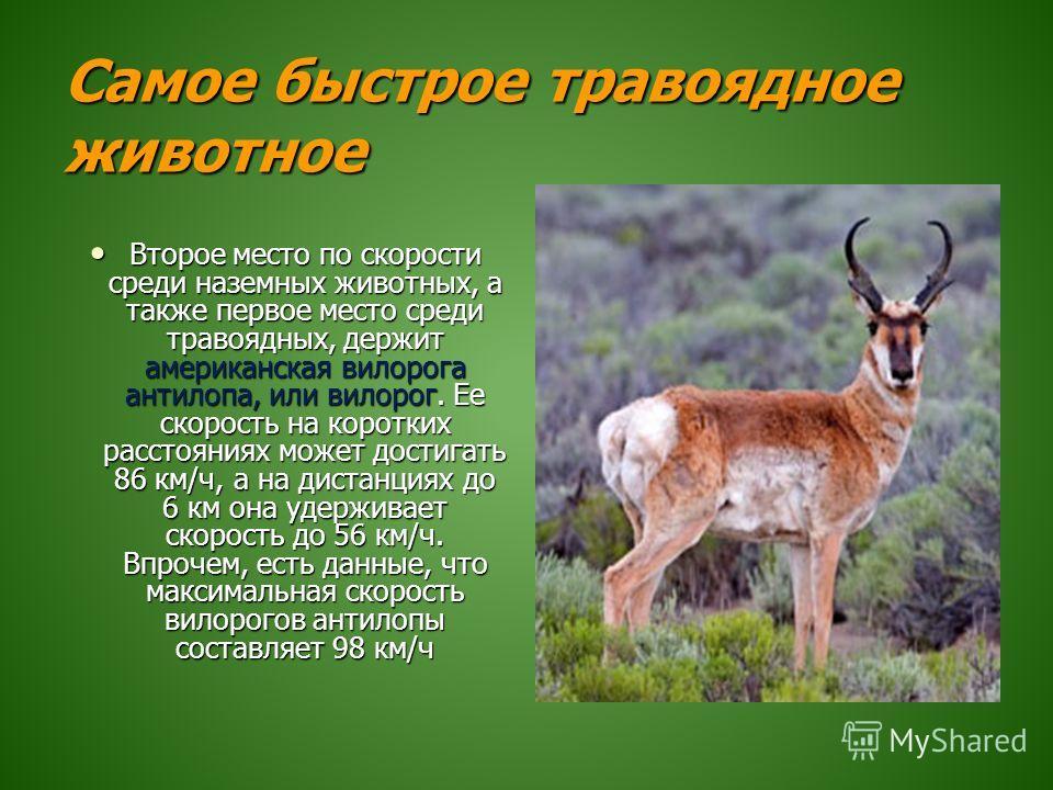 Самое быстрое травоядное животное Второе место по скорости среди наземных животных, а также первое место среди травоядных, держит американская вилорога антилопа, или вилорог. Ее скорость на коротких расстояниях может достигать 86 км/ч, а на дистанция
