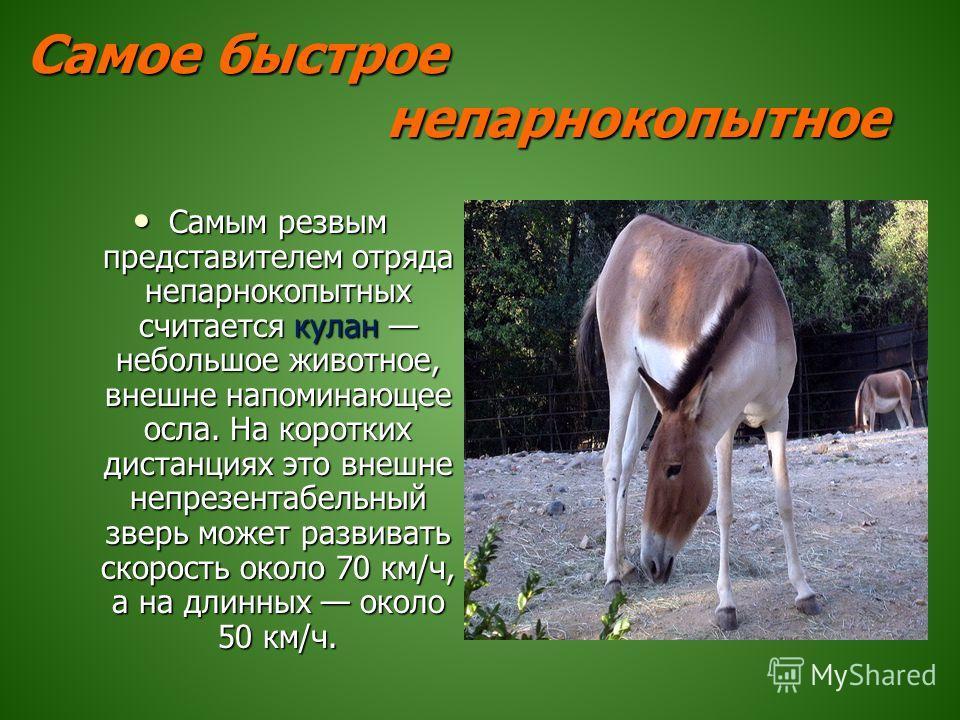Самое быстрое непарнокопытное Самым резвым представителем отряда непарнокопытных считается кулан небольшое животное, внешне напоминающее осла. На коротких дистанциях это внешне непрезентабельный зверь может развивать скорость около 70 км/ч, а на длин