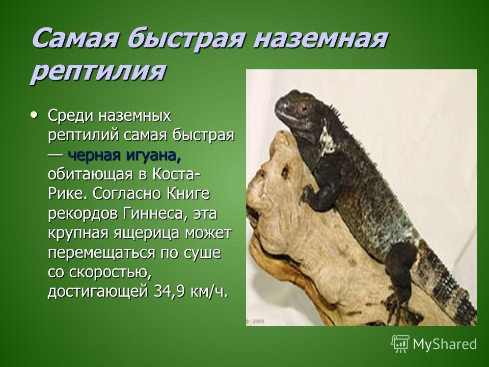 Самая быстрая наземная рептилия Среди наземных рептилий самая быстрая черная игуана, обитающая в Коста- Рике. Согласно Книге рекордов Гиннеса, эта крупная ящерица может перемещаться по суше со скоростью, достигающей 34,9 км/ч. Среди наземных рептилий